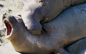 Elephant seal, brutal and violent mating representative
