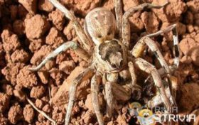 "Lycosa hispanica (a tarantula) The female spider even swallows the ""groom"" before mating."