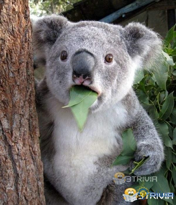 Most koalas fall from the tree and fall to death!