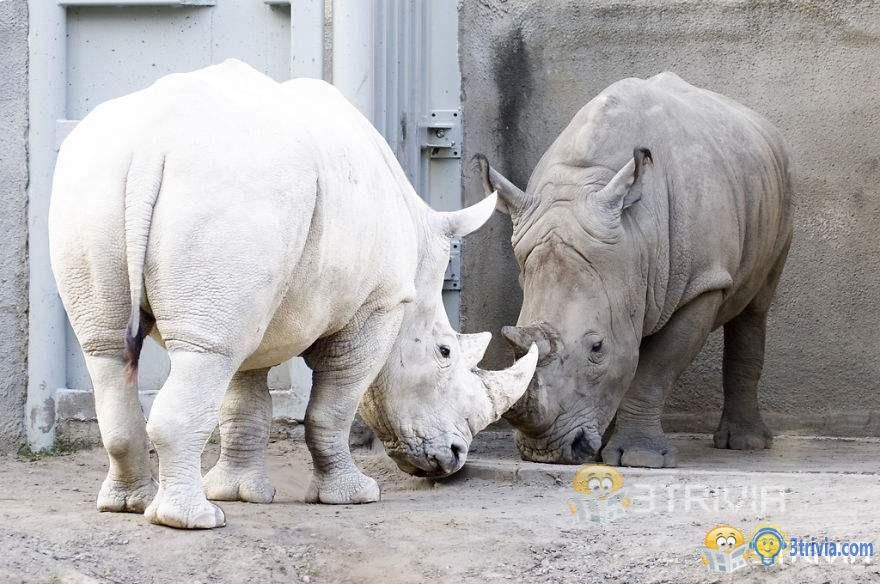 The last male northern white rhinoceros died in the world