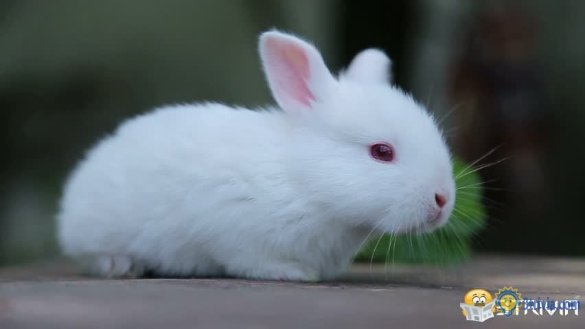 Rabbit Trivia:Why are the white rabbit eyes red?