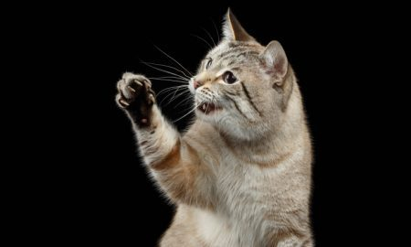 Cat Trivia:The female cat is the right-handed, the male cat is the left-handed