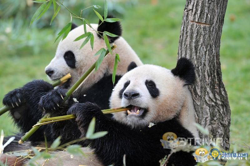 Panda Trivia:The panda has been eating bamboo since 7 million years ago.