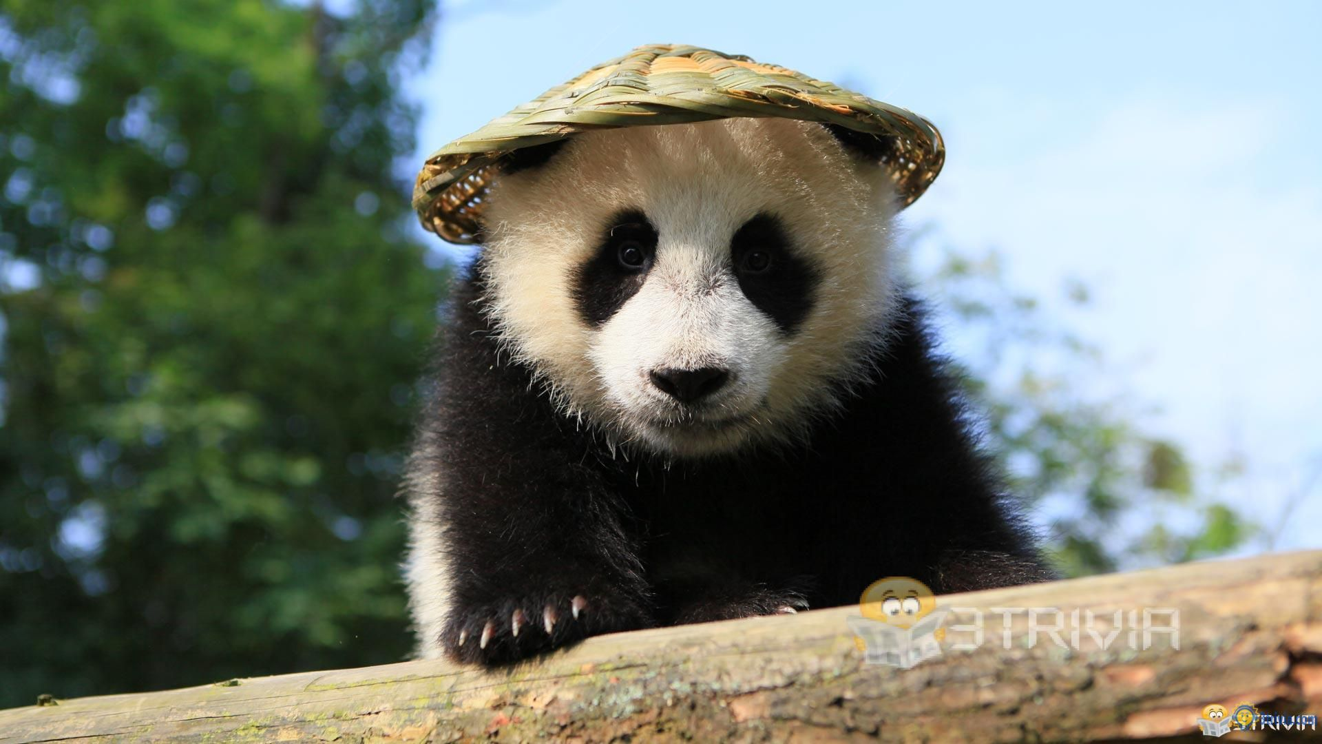 Panda Trivia:How many years can a panda generally live?