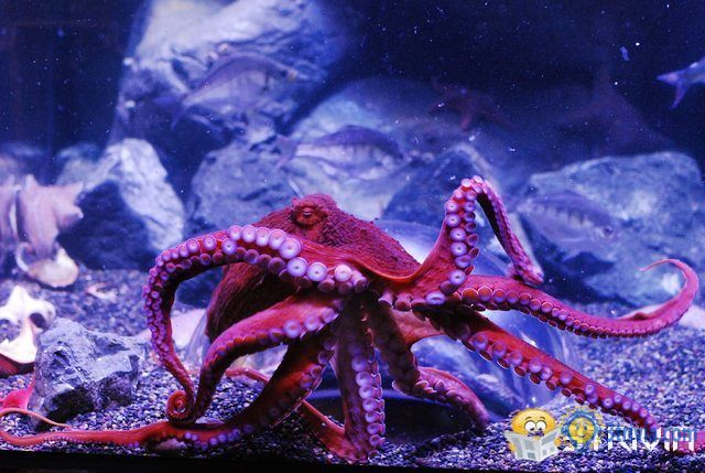 Octopus Trivia:Why is the blood of the octopus blue?