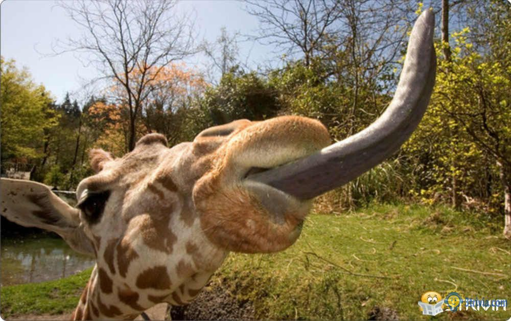 Tongue Trivia:The giraffe's tongue can reach into your own ears.