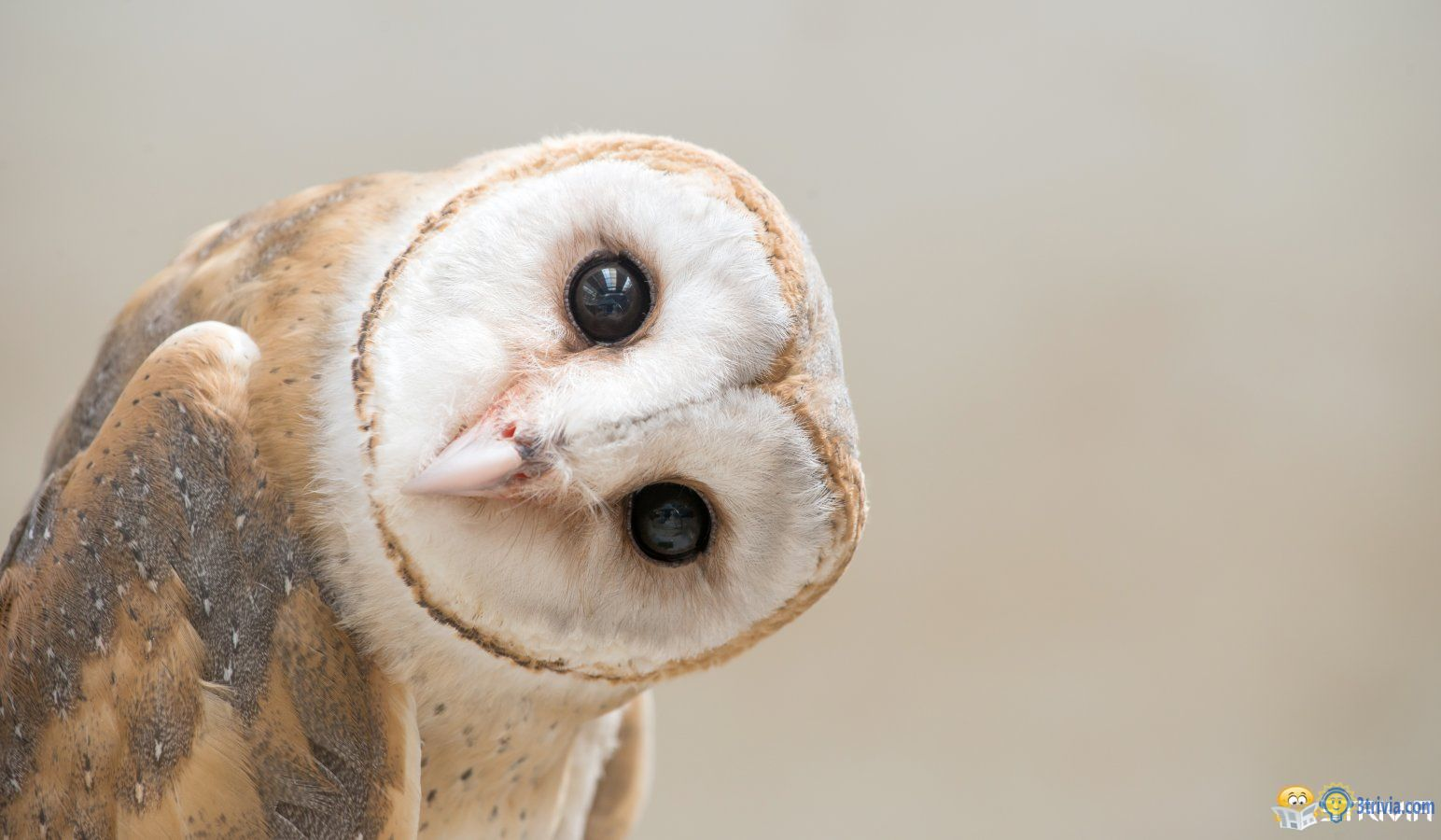 Owl Trivia:The owl's eyeballs couldn't move and they could only turn their heads.