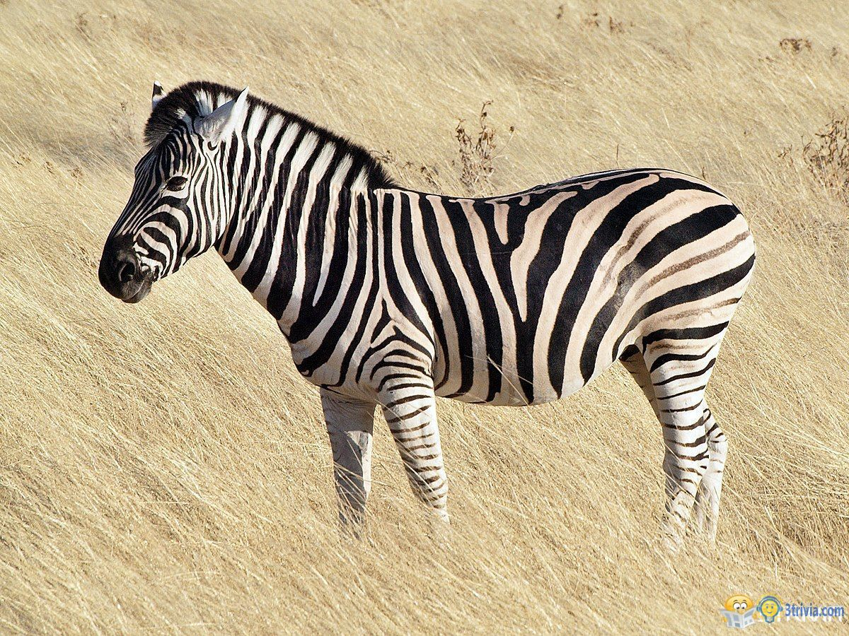 Zebra Trivia:Why are you standing and sleeping?
