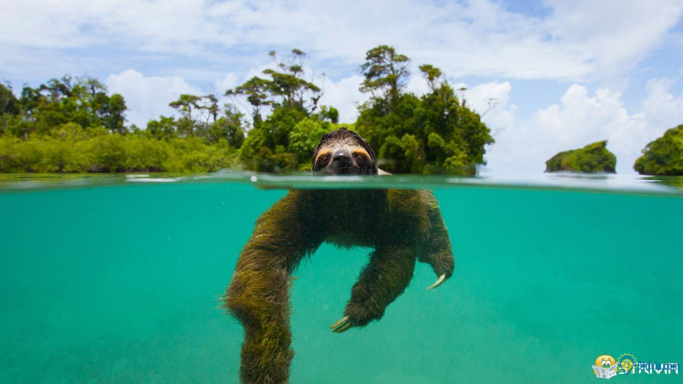 Sloth Trivia:Why does it swim very fast?