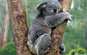 Koala Trivia:Its fingerprint is the same as human