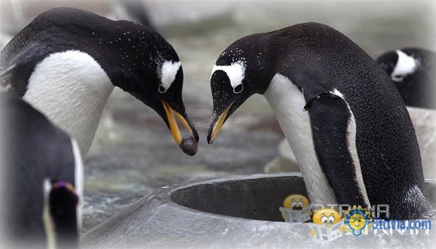 Penguin Trivia:Why do penguins have to take stones to woo their partners?