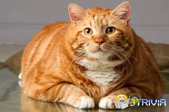 Cat trivia:Orange cats get fat and there is no scientific basis-3trivia