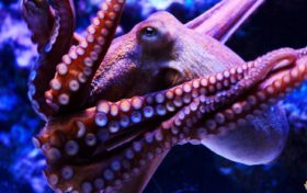 Octopus trivia:The octopus's IQ is equivalent to a human five-year-old child.