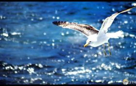 Seagull Trivia:Does the seagull drink sea water?