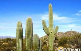 Cactus Trivia:Is it illegal to cut down cactus?