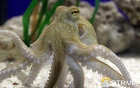 Octopus trivia:A 70-pound octopus can pass through a silver coin-sized hole