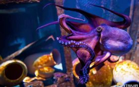 Octopus trivia:How do octopus eat with your mouth?