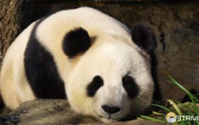 Panda trivia: eating all day