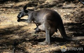 Kangaroo trivia:How old is the newborn kangaroo?