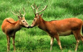 Elaphurus davidianus trivia:The angle of the elk can sense anxiety