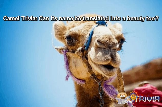 Camel Trivia: Can its name be translated into a beauty too?