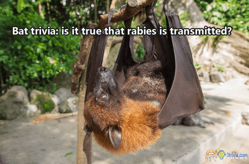 Bat trivia: is it true that rabies is transmitted?