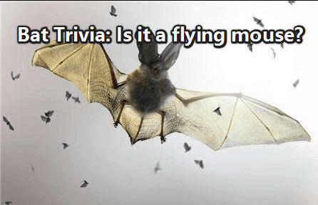 Bat Trivia: Is it a flying mouse?