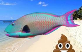 Feces Trivia:Some beaches are made with parrotfish