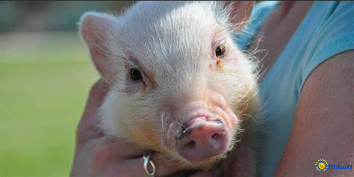 Pig trivia: Is it a double eyelid?