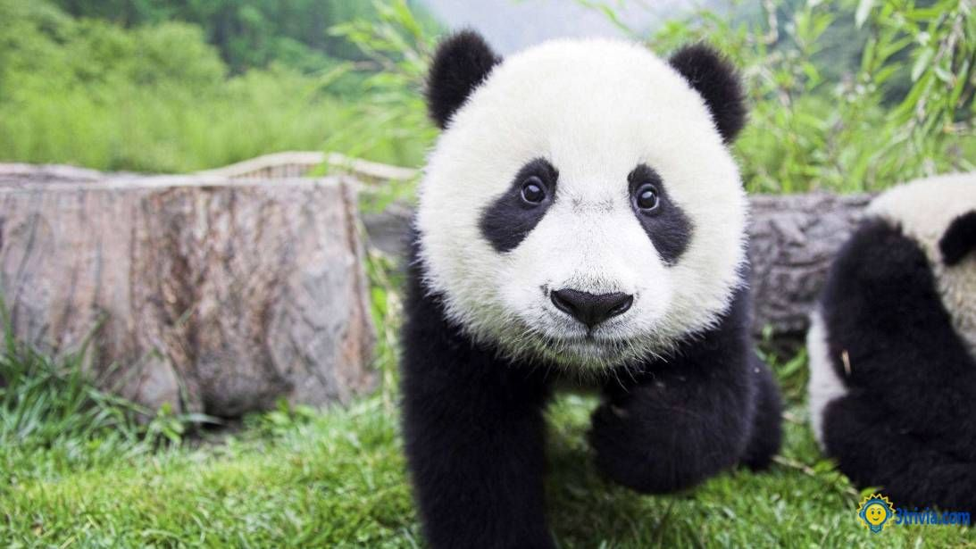 Panda Trivia: What does it have a big black eye