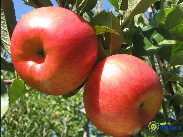 Apple trivia: The most expensive apple in the world? Announced!