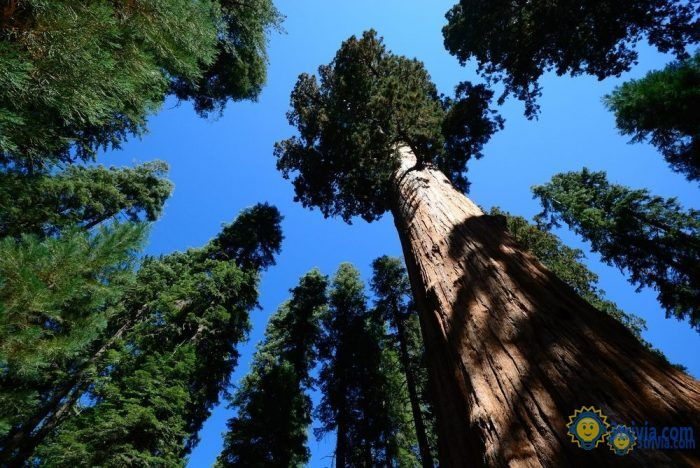 Plant trivia: the tallest tree in the world!